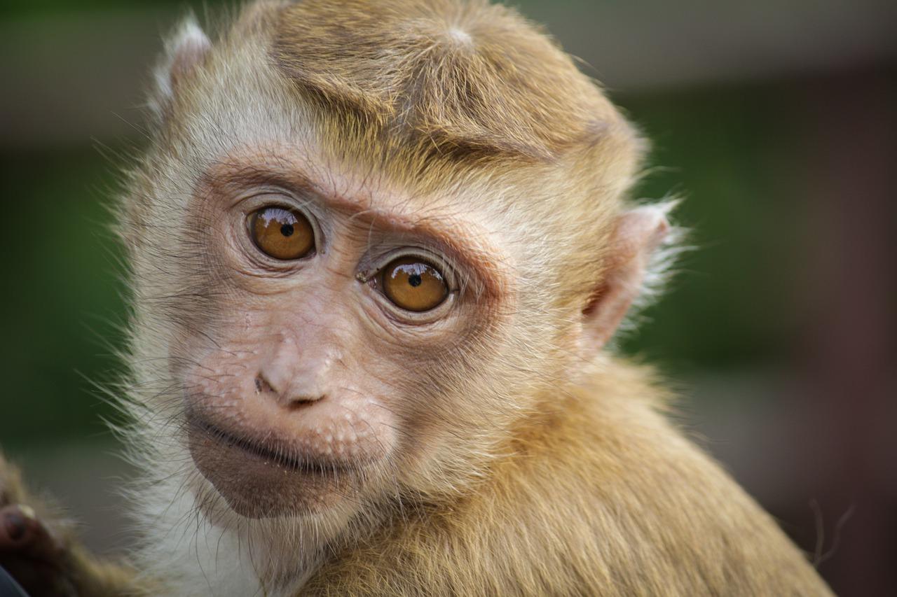 900 scimmie pronte per la vivisezione